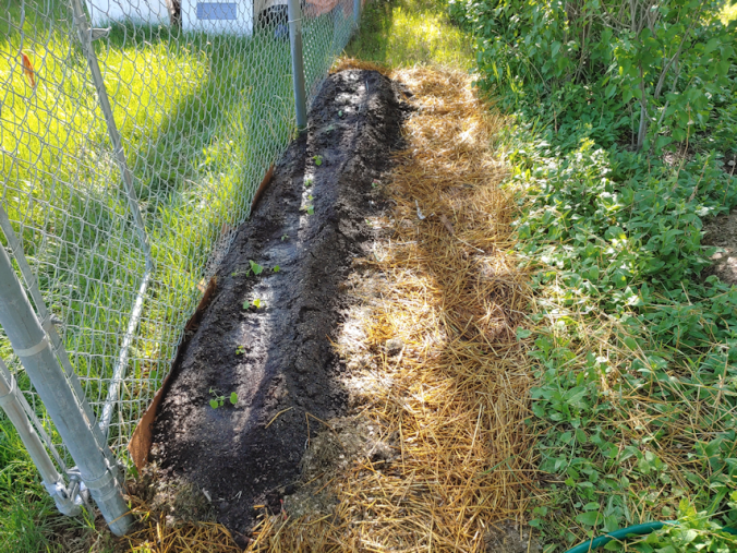 transplanted cucamelons and gourds